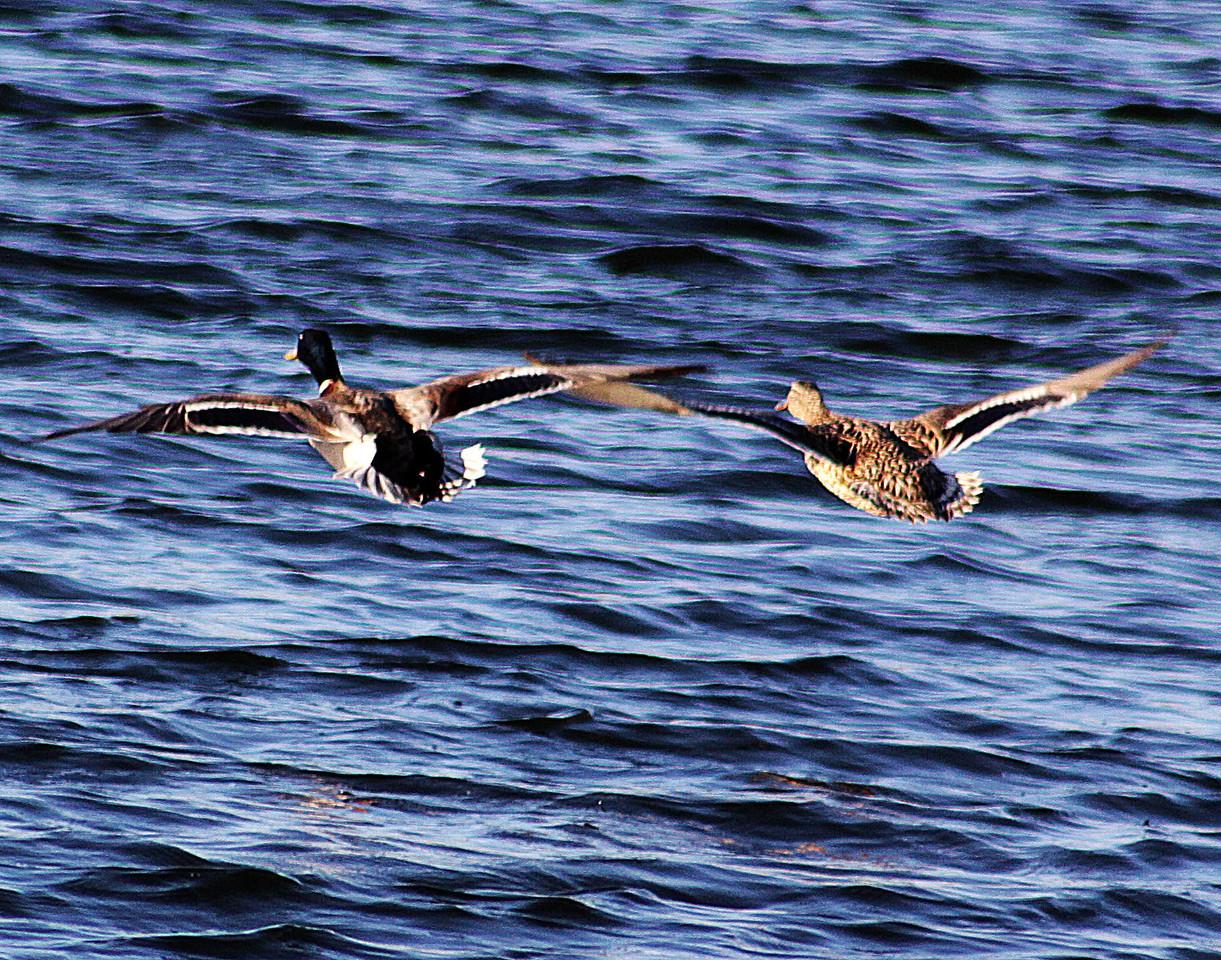 Two Mallard ducks flying low over Carter Lake in Cater Lake, Iowa.
