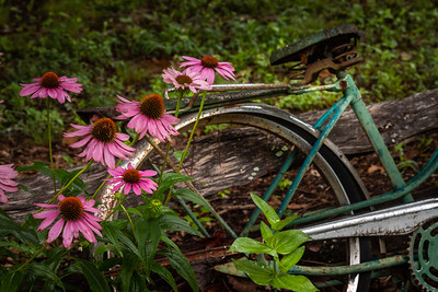 cone flowers on old bike