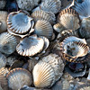 Wellfleet Shells