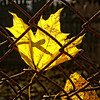 Jailed Leaf