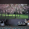 Cherry Trees in Cornwall Park. Print on canvas. Size; 2100 mm X 800 mm See original images at; http://smu.gs/N61pTz