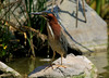 Green Heron scouting the scene for lunch, San Diego Creek channel nr San Joaquin WIldlife Sanctuary, Irvine, CA, June 9 2007.