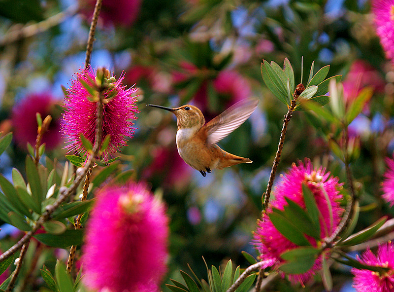 """A Hummingbird's World"", Allen's at the Purple Bottlebrush, South Coast Botanic Garden, Palos Verdes, California, April 21 2007."