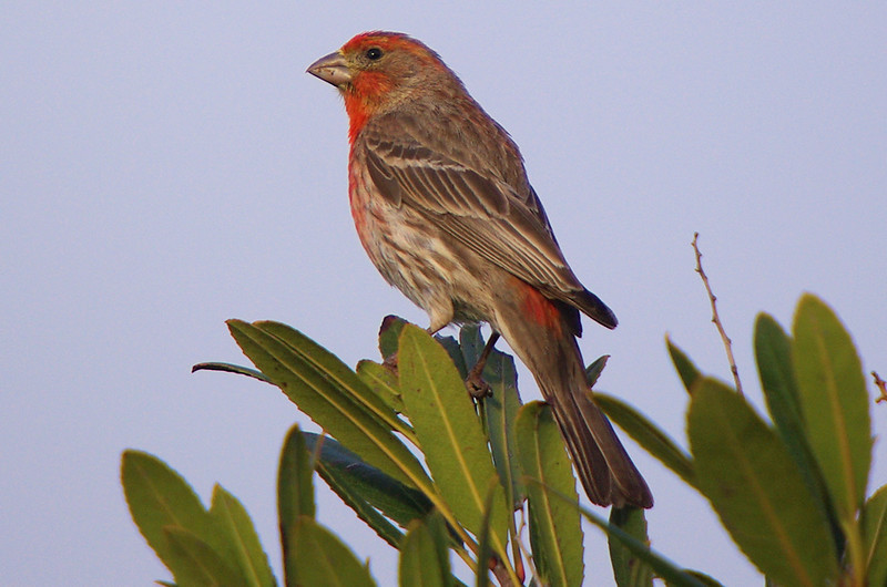 Just a plain ol' House Finch  but it gets the Bigma Treatment.