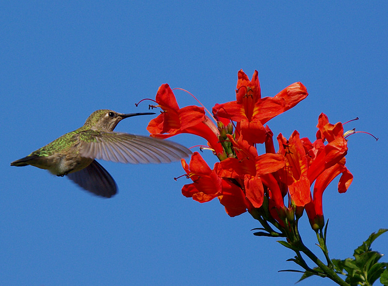 And the 3rd pic in the series.  The shutter speed is 1/1250 sec to freeze the wings.