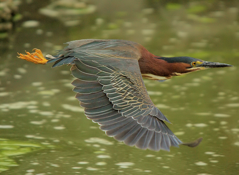 Flight of the Green Heron, San Diego Creek channel just outside of the San Joaquin Wildlife Sanctuary, Irvine, CA, June 9 2007.