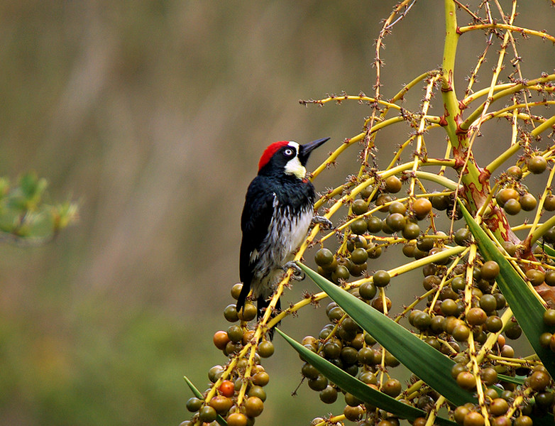 An Acorn Woodpecker. These are quite common on Catalina, drilling holes in the soft wood of palm trees growing all the way down to the shoreline.