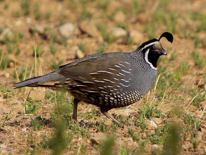 Here's the Catalina Quail, which looks suspiciously like the California Quail...