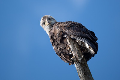 #1501 Bald Eagle