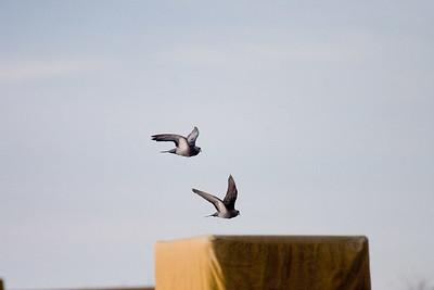 First attempt at birds in flight: backyard pigeons ISO 800, 1/4000, f/5.6, 400mm