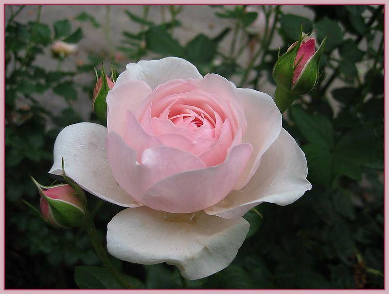 00aFavorite 0506 Heritage - one nice bloom, 3 buds [borders]