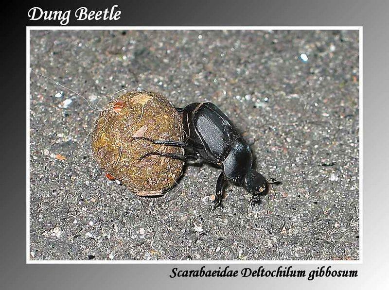 00aFavorite Dung Beetle cl [gradient border, text]