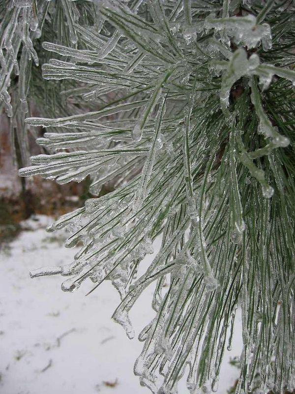 00aFavorite Frozen pine needles cl