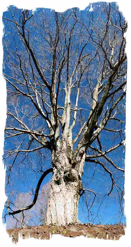Tree in Boone, NC against deep blue sky [panoramic, washed out edge effect]