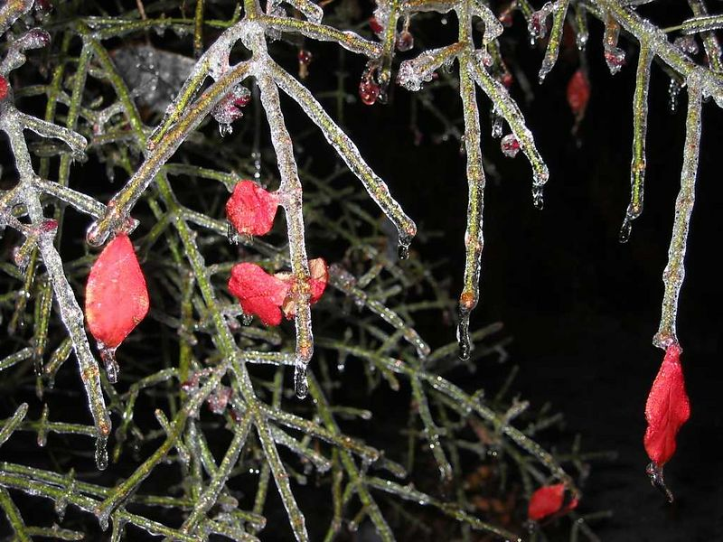 00aFavorite Frozen Burning Bush with few red leaves left cl nt