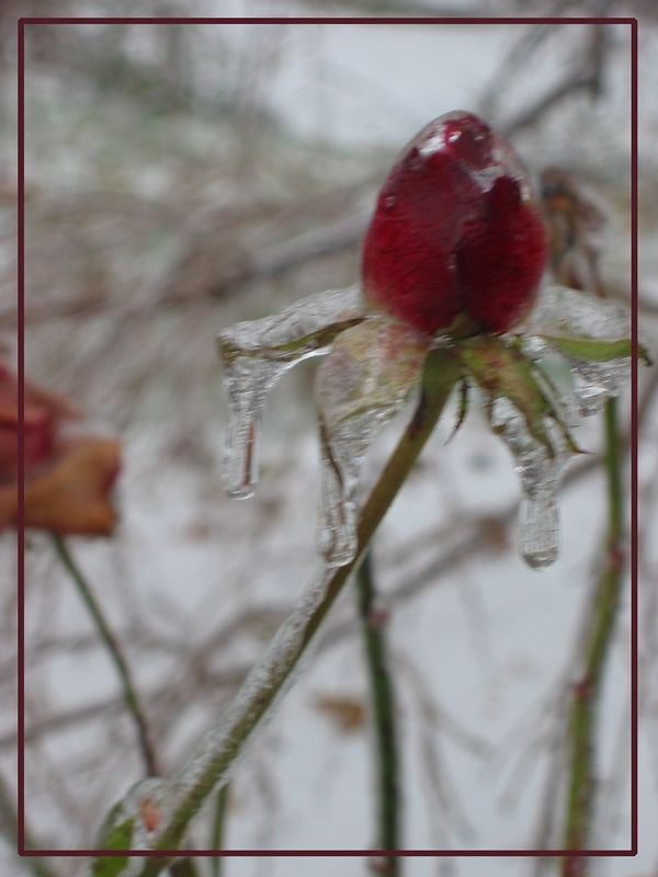00aFavorite Frozen red rose bud