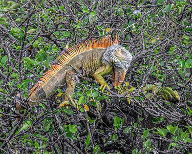 MONTH 1:  Anything Goes. Week 2.  A Florida Iguana