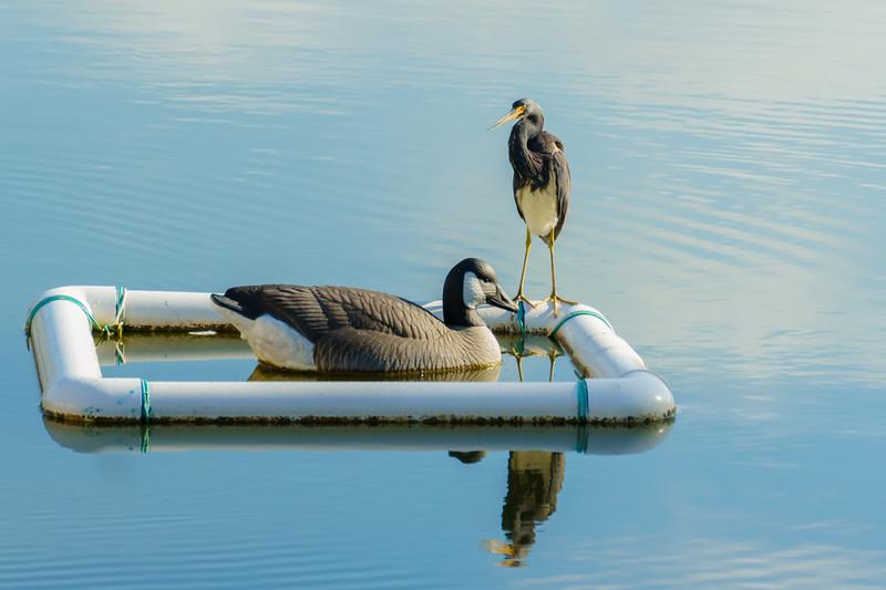 "MONTH 4:  Wildlife at my Florida Neighborhood:  Week 4, ""Real and Fake"""