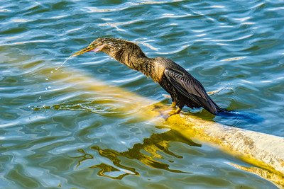 MONTH4:Wildlife at my Florida Backyard, Week 3:  Lady Anhinga
