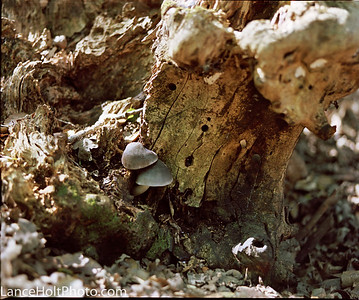 mamiya mushrooms