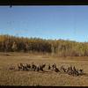 Poultry Pool ahead [flock of turkeys]. Cleeves 09/27/1941