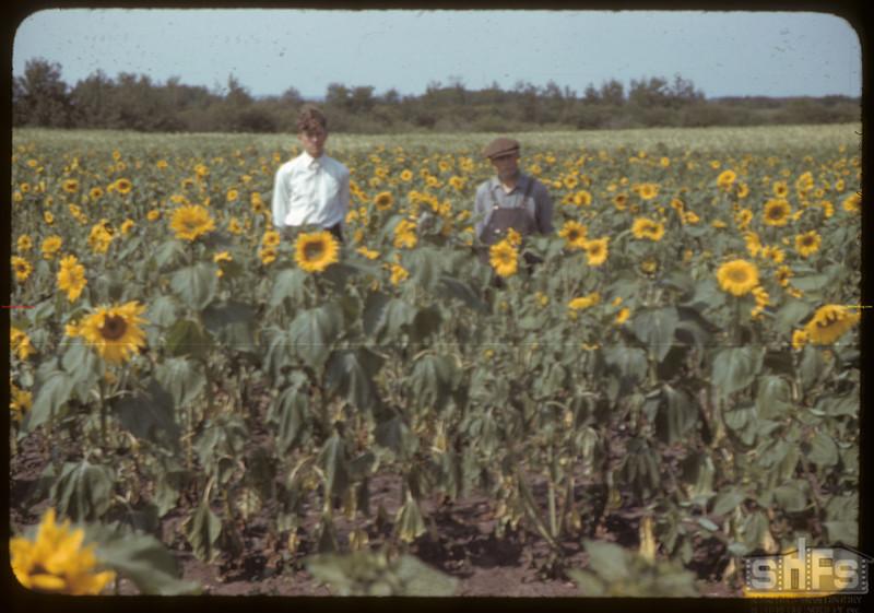 Unrau's 15 acres of sunflowers. Mullingar. 09/07/1942