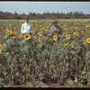 Unrau's 15 acres of sunflowers. Mullingar. 09/07/1942