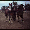 Tom Gillespie and Clydesdales Ferland 06/17/1949