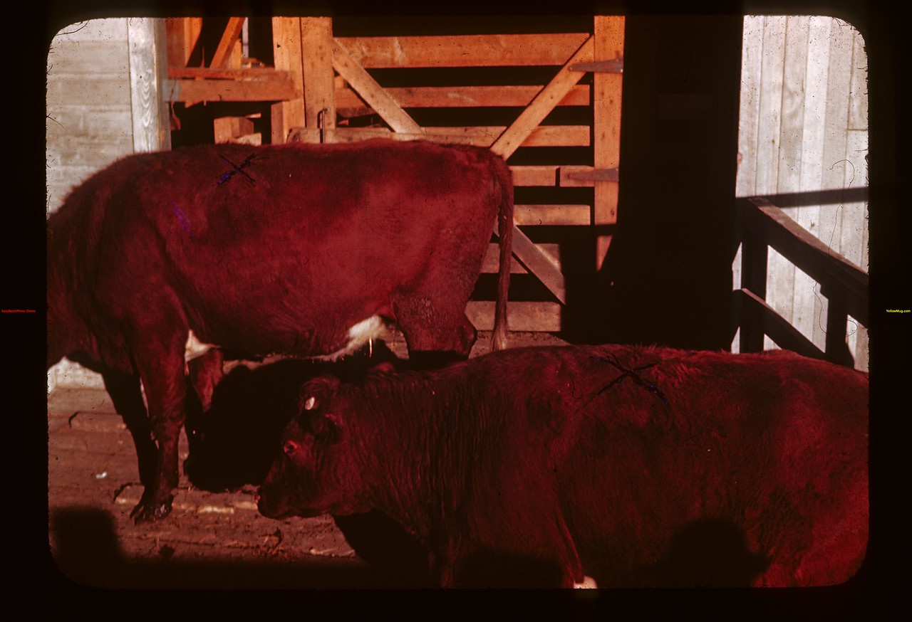 Cattle with scissor brands Glen Ewen 10/02/1944