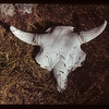 Buffalo skull - Maple Creek museum.	 Maple Creek	 09/27/1949
