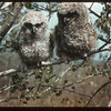 Charles Huards pet owls	 Denholm	 05/12/1942