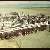 Calf Club show and sale (near Consul). 05/31/1949
