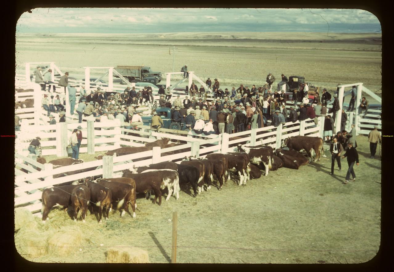 Calf Club show and sale (near Consul). 05/31/1949