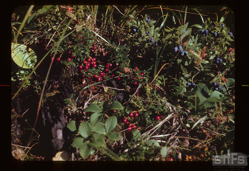 Low Bush Cranberries as they Grow Loon Lake 08/27/1944