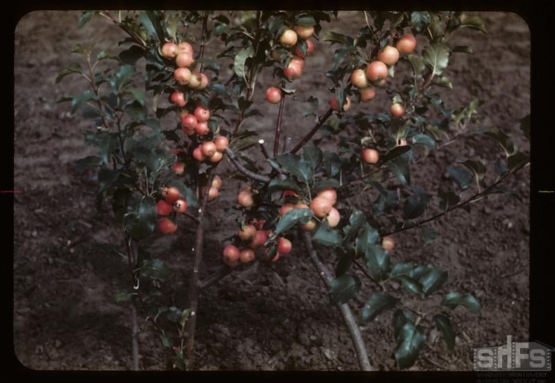 Apples - Mental Hospital irrigation farm. Battleford 08/17/1944