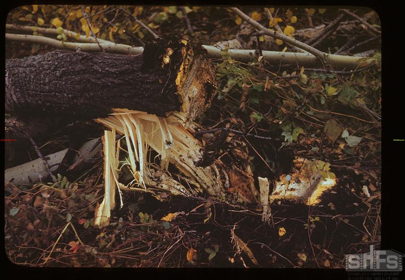 Brush cutter fells poplar - Naicam to Melfort Melfort 09/25/1946