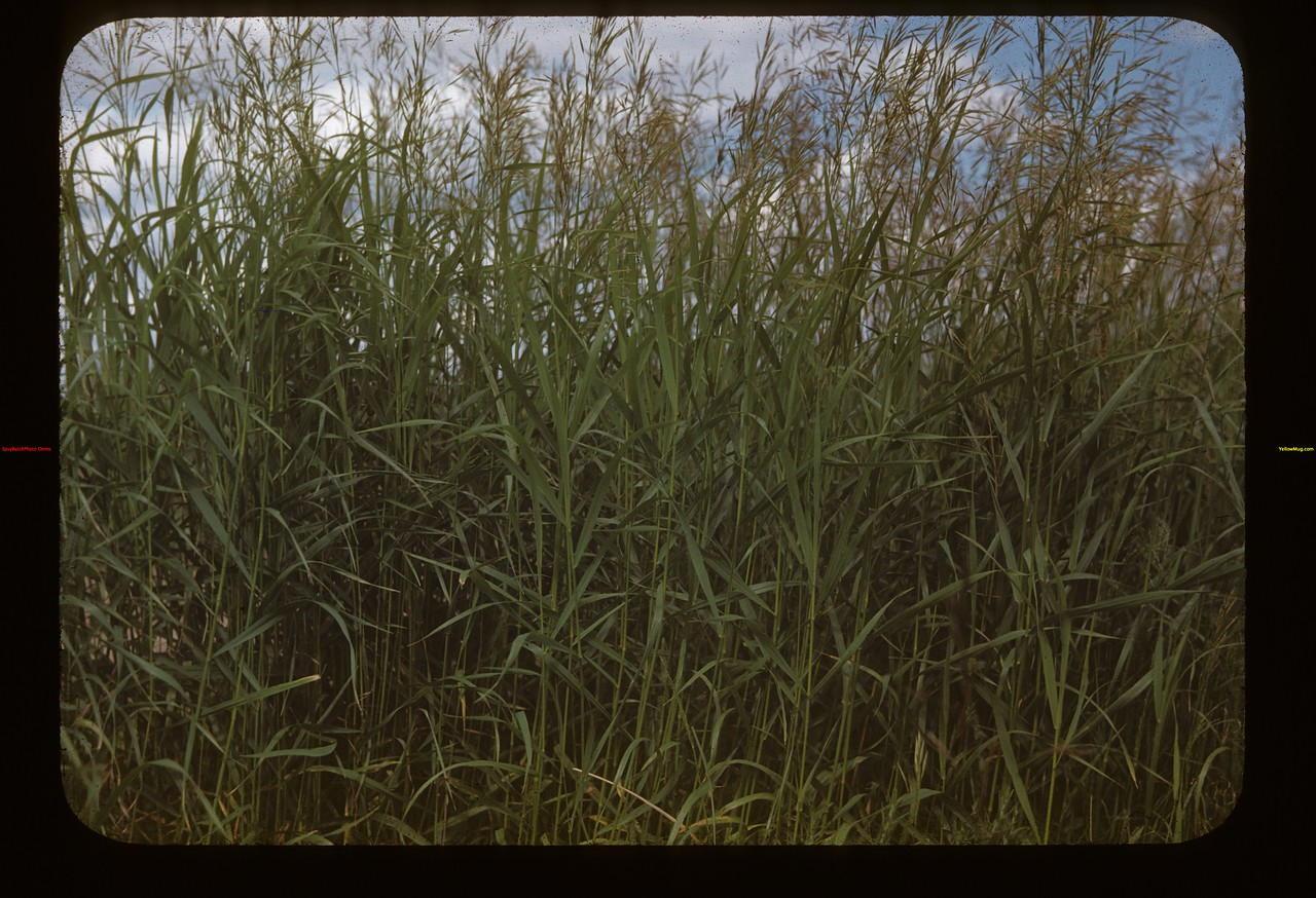 Brome grass seed N.W. of Eastend	 Eastend	 06/25/1948