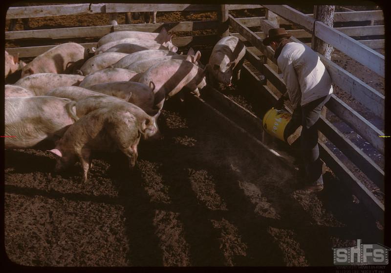 Feeding [hogs] in Livestock Pool yards..  North Battleford.  10/07/1946