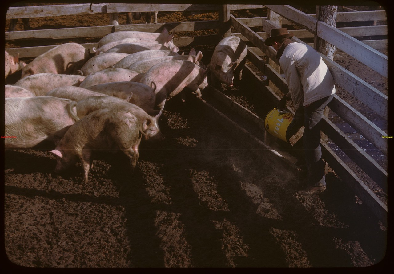 Feeding [hogs] in Livestock Pool yards..  North Battleford.  10/07/1946