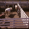 Jack Gould selling Livestock Pool cattle	 Moose Jaw	 04/28/1947