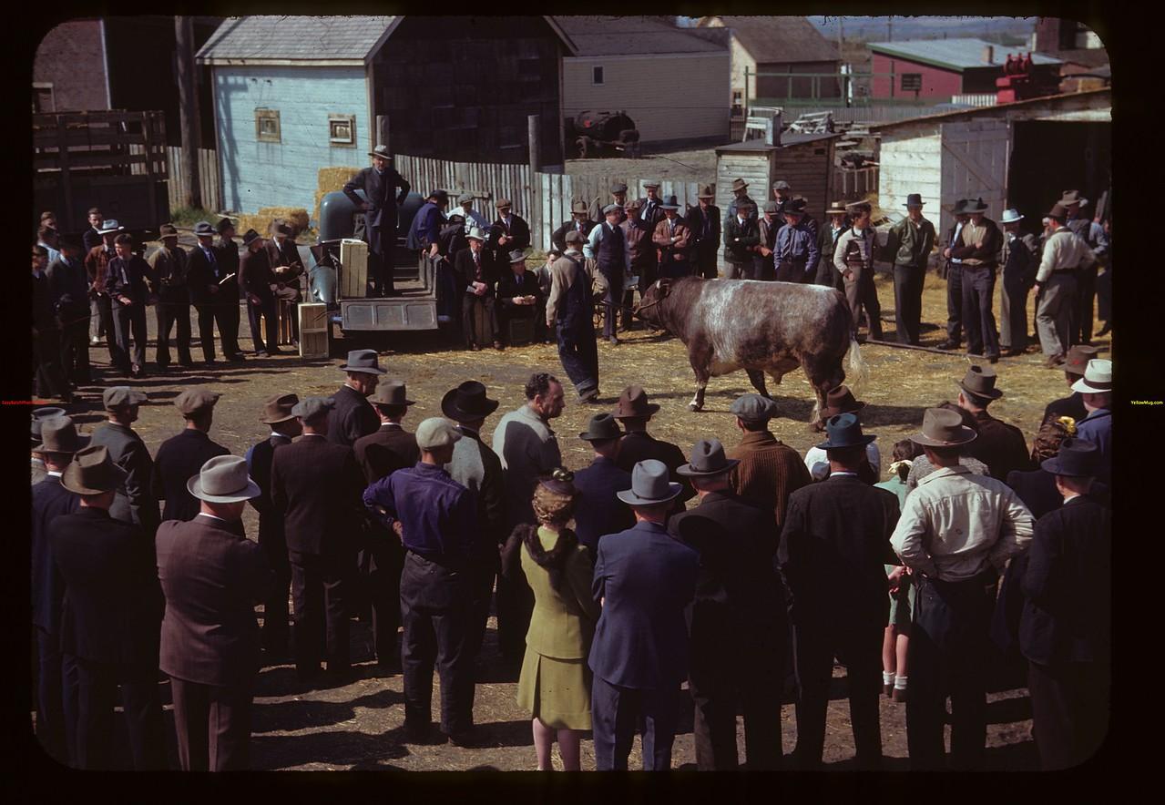 J.W. Durno of Calgary selling Bulls.  North Battleford.  05/22/1945