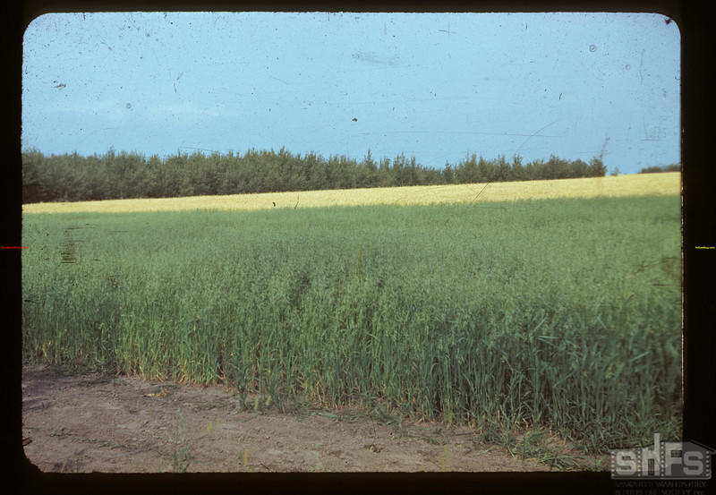 Oats - wheat - tress north of 4 corners. Meadow Lake 08/21/1942