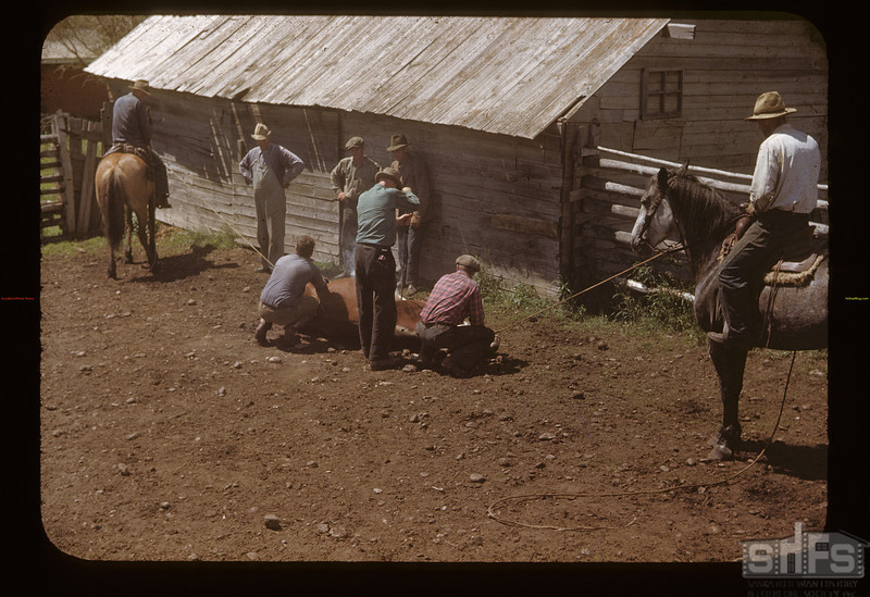 Branding cow - C. C. Ambrose ranch. Maple Creek. 06/26/1948