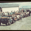 Iffley Jr. Calf Club [near North Battleford].	Iffley.  05/19/1945
