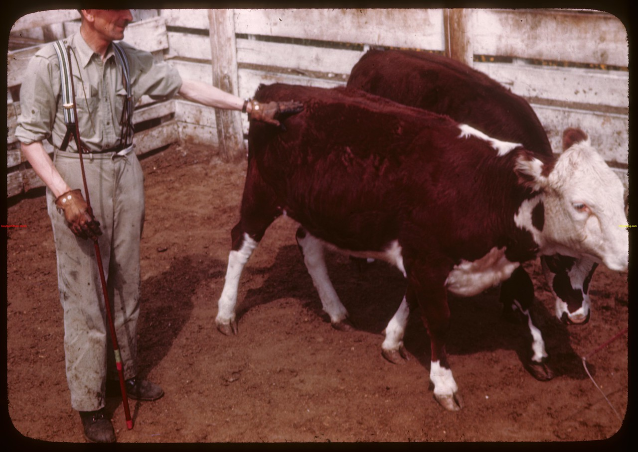 Bill Cutt - LS Pool - selling herefords.  Prince Albert.  05/30/1944