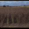 25 varieties in Irvin Bell's flax test plot. Kerrobert.  09/23/1942