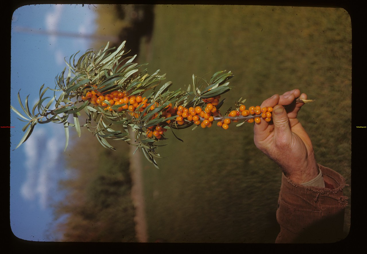 Russian Buckthorn - Dominion Experimental Station - berries hold colour all winter - til tuft headed birds come and strip - last of February or in March.	 Melfort	 09/28/1946