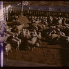 Sheep - west side Livestock Pool stock yards.  Regina.  10/22/1946