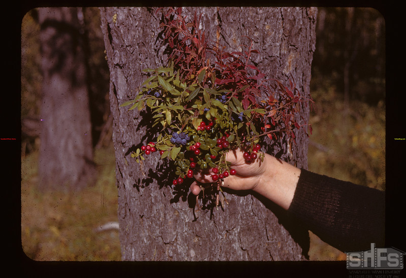 Blue-berries & Cranberries as the Grow	 Loon Lake	 09/17/1943