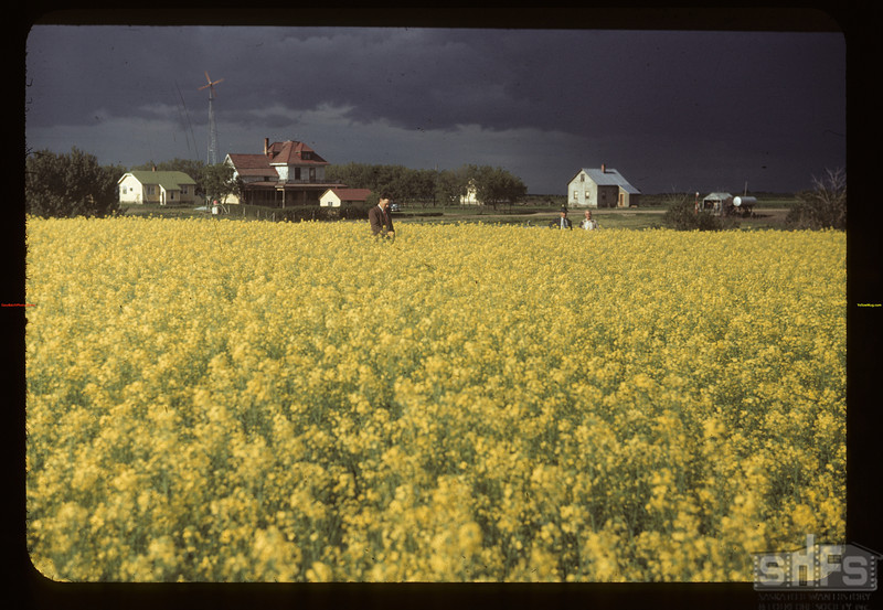Fields of rape at Laurel co-op farm.  (West of Melfort)	 Meskanaw	 07/17/1949
